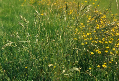 Perennial Brome Grasses : Weeds grass information and photo gallery