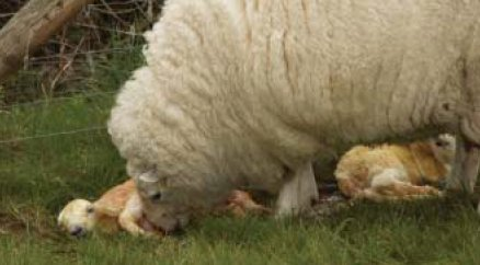 maternal behaviour in sheep Abstract the temperament of ewes and maternal behaviour at lambing has been implicated as contributing factors to lamb survival some 14 054 records of maternal behaviour score (mbs, 1 = good, 5 = poor) were collected at lamb tagging from 32 breeds of sheep over several years in a variety of environments.